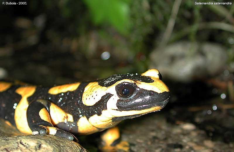 http://www.batraciens-reptiles.com/Salamandra_salamandra_terrestris_6.jpg