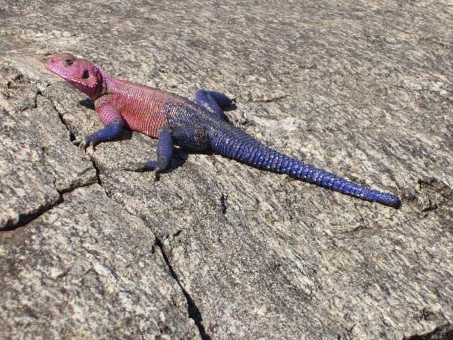 http://www.batraciens-reptiles.com/agamaM.jpg
