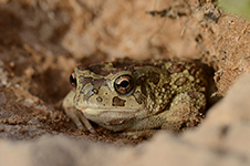 Bufo mauritanicus, Sclerophrys mauritanica, crapaud berbère