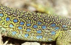 grenouilles crapauds geckos iguanes tortues photos. Black Bedroom Furniture Sets. Home Design Ideas