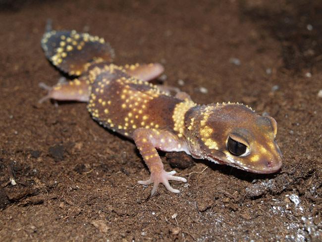 Gecko Milii7