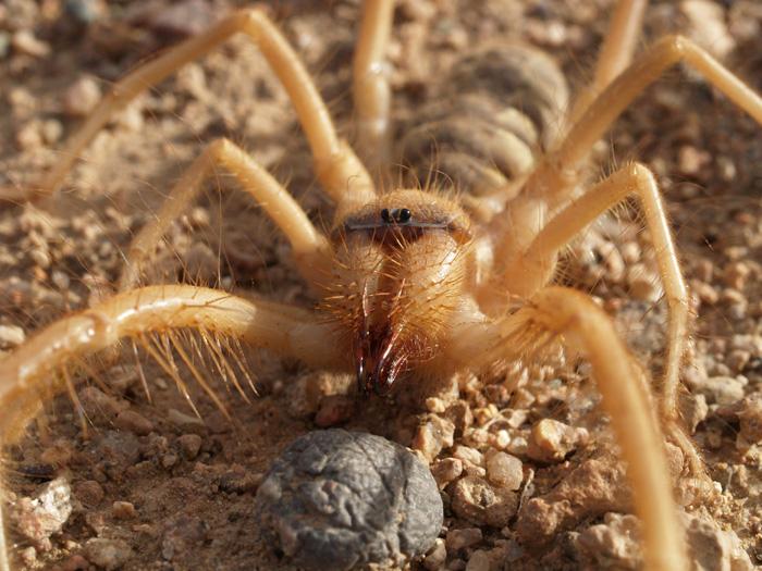 http://www.batraciens-reptiles.com/solifuge3.jpg